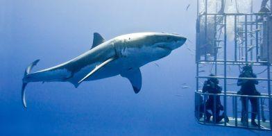 landscape-1436537168-shark-cage-web